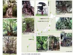 <神秘的な巨樹ベスト10> 1位は縄文杉、4位に蒲生の大クス(鹿児島県姶良市)